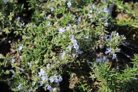 Huntington Carpet Rosemary